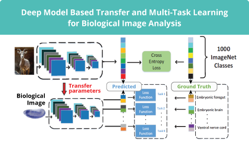 Deep model based transfer and multi-task learning for biological image analysis slide